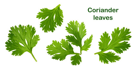 Coriander leaf isolated without shadow © azure