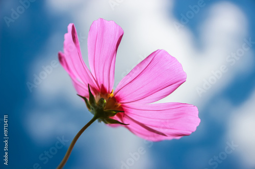 Colorful cosmos flower blooming in the field - 197134711