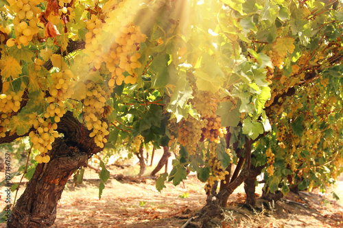 Vineyard landscape with ripe grapes at sun light. - 197146757