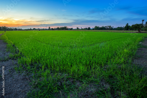 Fotobehang Groene Beautiful green cornfield with sunset sky background.