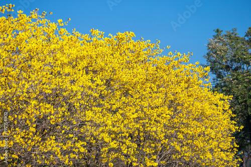Keuken foto achterwand Geel Golden trumpet tree at Park in on blue sky background.