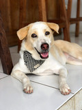 A white dog, a mongrel in a stylish banded bandana around his neck, lies on the floor in a cafe. Bali Island where everyone loves dogs. - 197158140