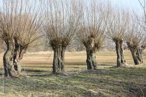 Papiers peints Nature een rijtje knotwilgen in een natuurgebied in de Achterhoek