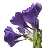 beautiful crocus on white background - fresh spring flowers. Violet crocus flowers bouquet . (selective focus) - 197170528