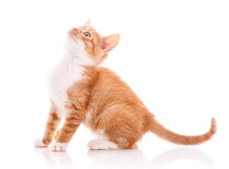Cute orange kitten looking up.