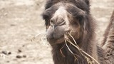 Dromedary chewing in super slow motion - 197195503