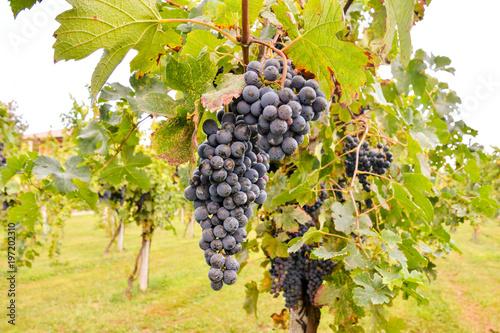 Deurstickers Wijngaard Vineyard Ready to Produce Wine