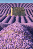 Lavender fields in Valensole with stone house and trees in morning Summer light. Plateau de Valensole, Alpes de Hautes Provence, France - 197207313
