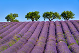Olive trees and lavender fields in Summer on Valensole Plateau. Alpes de Haute Provence, France