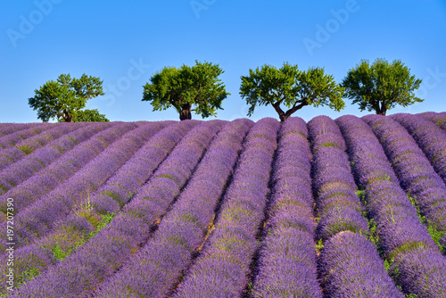 Fototapeta Olive trees and lavender fields in Summer on Valensole Plateau. Alpes de Haute Provence, France