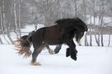 Amazing irish cob running in the snow