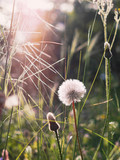 Wild flowers are white dandelions in the clearing. Natural floral background, spring, summer.