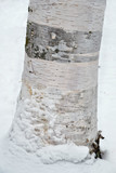 Baumstamm einer Birke im Schnee