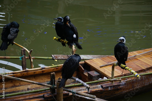 Fotobehang Guilin Cormorant birds cormorants family black shiny feathers on boat in river