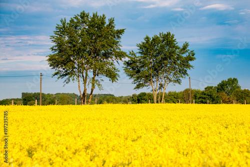 Fotobehang Meloen gelbes blühendes Rapsfeld mit grünen Bäumen und blauem Himmel bei sonnigem Wetter