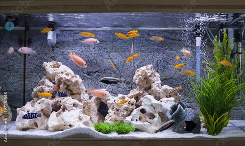 Aquarium With Cichlids Fish From Lake Malawi Buy Photos Ap
