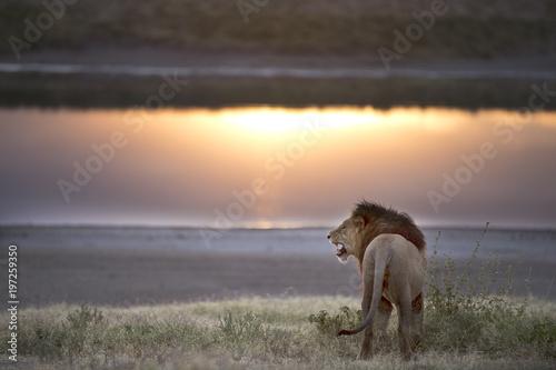 Plexiglas Lion African lion in its natural habitat