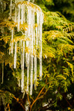 Tree branch with icicle. Close-up of ice on a thuja tree. Winter natural phenomenon icicles hanging from branch. - 197259594