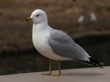 Ring-Billed Gull (Larus delawarensis) - 197263702