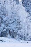 Trees covered in frost snow nature winter scene - 197275351