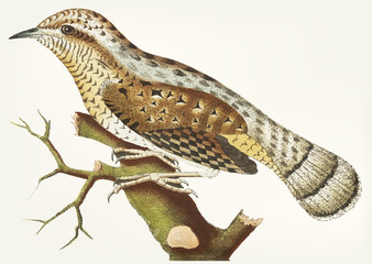 Hand drawn of wryneck