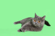 Leinwandbild Motiv Beautiful smoky gray British cat on green background