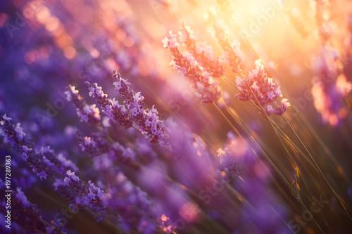 Fotobehang Lavendel Lavande, Provence, France