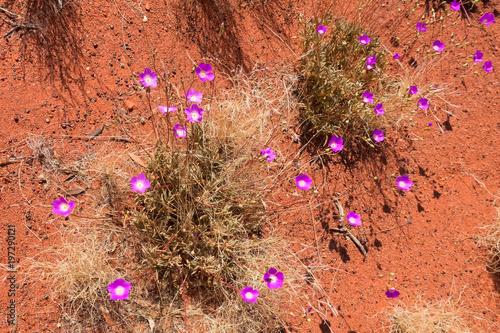 Fotobehang Koraal Broad-Leaf Parakeelya growing in the outback of the Northern Territory in Australia