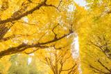 黄色く色ついた銀杏 - 197292586