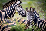 Striped family