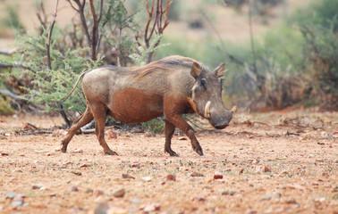 Warthog © Esmeralda