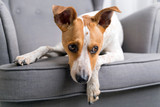 Dog on the gray armchair