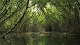 Bushes of mangrove forest in salted water of small river stream flowing in hidden natural passage among twisted trees and plant roots. Moisture humid climate and tropical vegetation of coastal marshes - 197325366