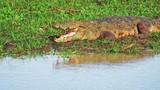 Massive Marsh Crocodile Mugger along water edge of freshwater swamp in Yala national park in Sri Lanka wildlife reserve and nature protection sanctuary - 197325375