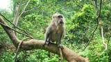 Macaca Fascicularis or Balinese Long-tailed Macaque monkey in lush of evergreen tropical rain forest in Indonesian jungle - 197325531