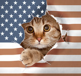 British cat looking up through hole in paper USA flag