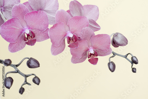 Color fade orchid branche on white background with copy space