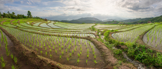Beautiful view of rice paddy field during sunrise Nature compositi