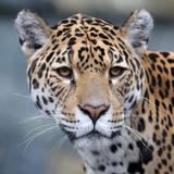 Jaguar close-up portrait