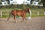 Horse is being lunged - 197362334