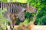 Zebra's Eating