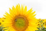 Piękny duży słonecznik na tle pola. Pszczoła siedząca na słoneczniku.