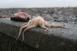 Dead flaccid Octpus with slimy tentacles hanging over edge of stone wall at the beach - Fish with open mouth in background
