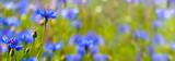 kornblumen in der sommerwiese