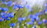 kornblumen im sonnenschein