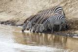 zebra drinking iin the Mara River n the migration season in the Masai Mara National Park in Kenya