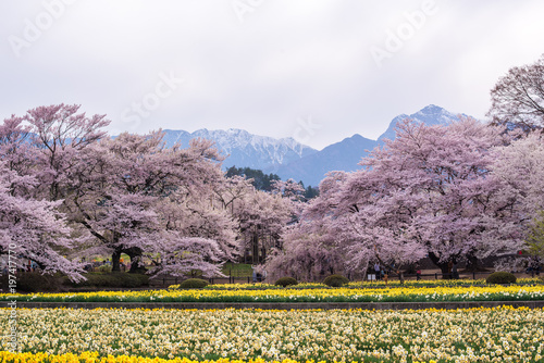 Fotobehang Lavendel 桜