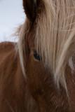 Isländisches Pony