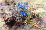 Blue snowdrops in the forest near a tree bark. Magic wood edit.