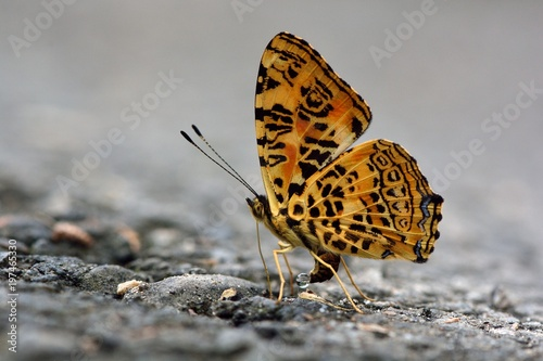 Motyl z Tajwanu (Symbrenthia hypselis scatinia) Motyl w wodzie